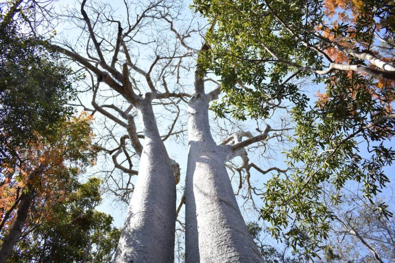 Madagascar travel Baobab trees