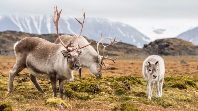Three deer in Svalbard