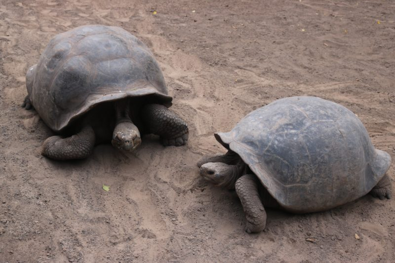 What to do in the Galapagos islands Giant Tortoise Breeding Centre