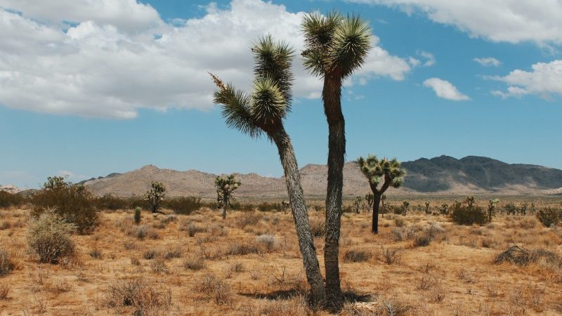 A Joshua tree in the California desert