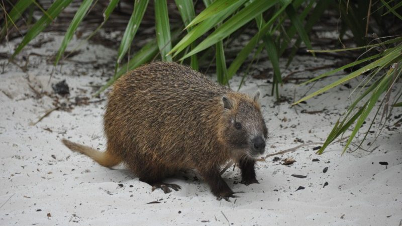 A hutia on the beach in Cuba