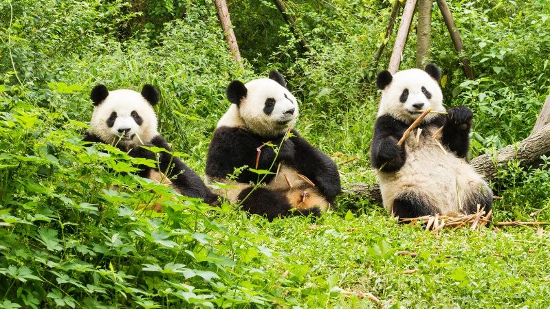 Three pandas enjoy a snack in Chengdu, China