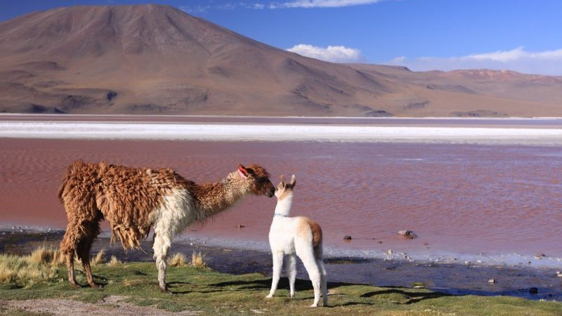 Two llamas stand on the banks of the Laguna Colorada