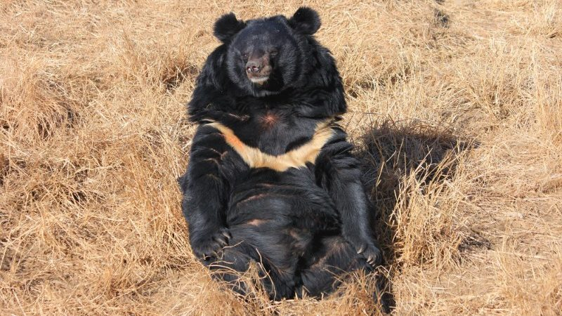 A moon bear sits in the sun in Chengdu, China