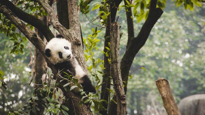 A panda cub plays in a tree in Chengdu, China