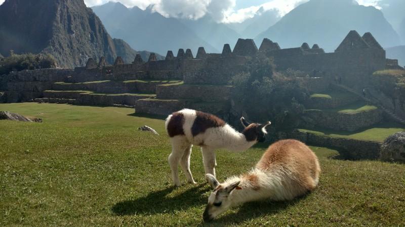 Two llamas grazing at Machu Picchu