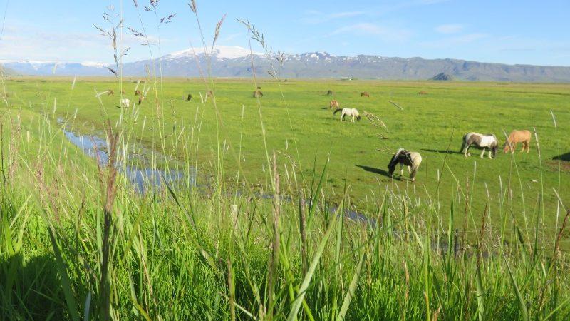 Horses graze in a grassy field