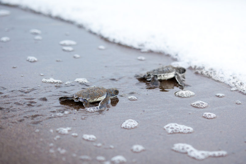 best beaches in costa rica baby sea turtles