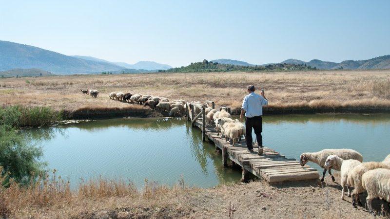 A shepherd herds his flock of sheep across a bridge on a farm