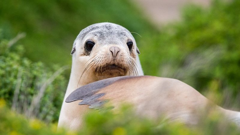 A curious seal plays in the dunes on Kangaroo Island