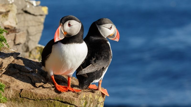 Two puffins stand on a cliff edge in Iceland