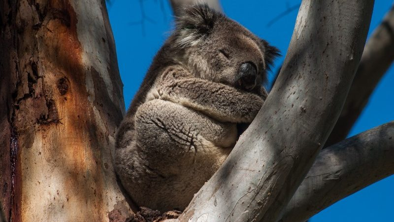 A sleeping koala on Kangaroo Island