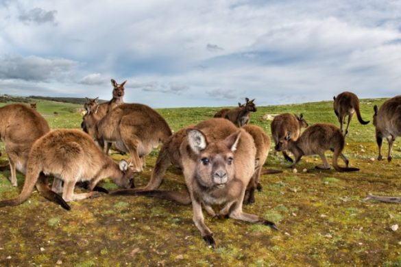 A mob of kangaroos peer into the camera on Kangaroo Island