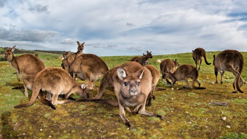 A mob of kangaroos peer into the camera on Kangaroo Island