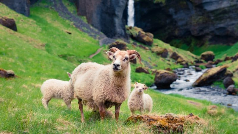 Three Icelandic sheep grazing in a field