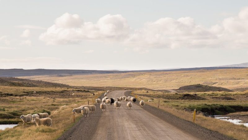 A herd of sheep wander across the road in Iceland
