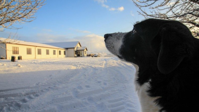 A Border Collie stares into the snow on a farm in Iceland