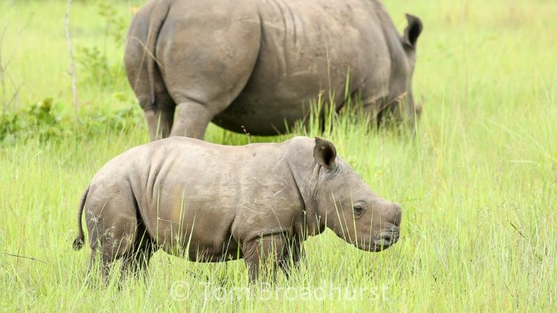 A young rhino and his mother