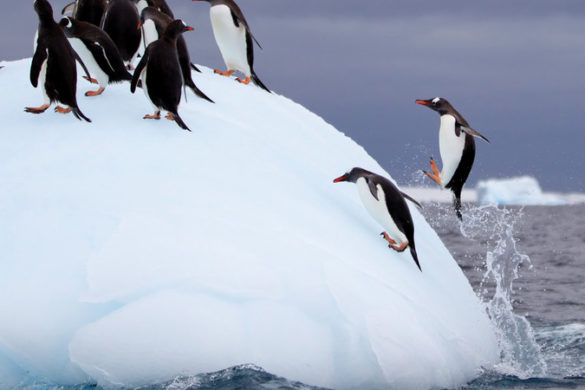 Penguins jumping on an iceberg
