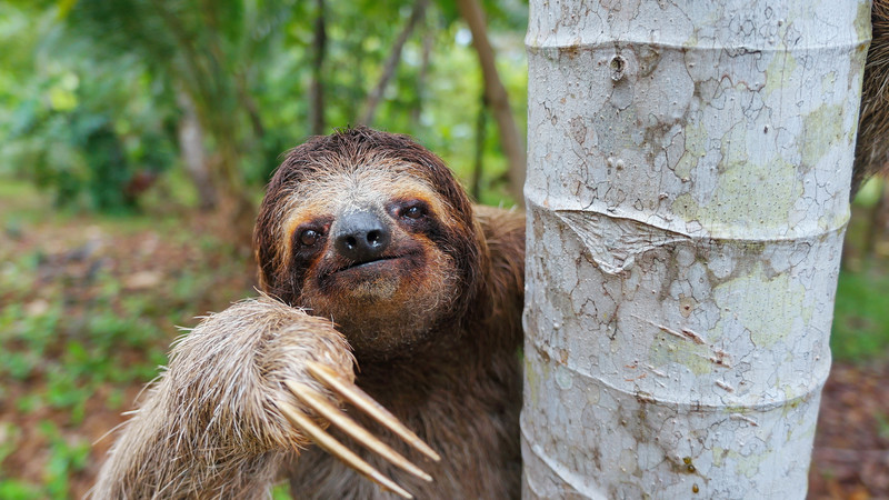 A smiling sloth
