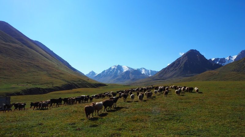 Livestock in Kochkor, Kyrgyzstan