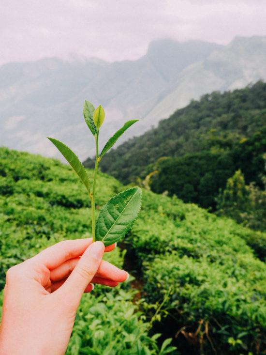 Kerala travel guide India tea leaves