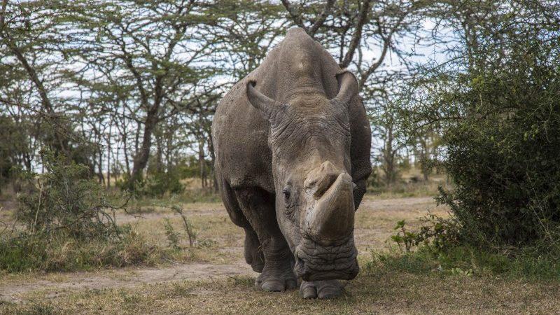 Sudan, the worlds last male northern white rhino