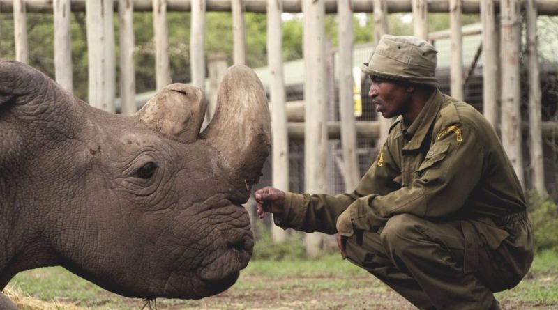 Sudan, the last male northern white rhino, and handler