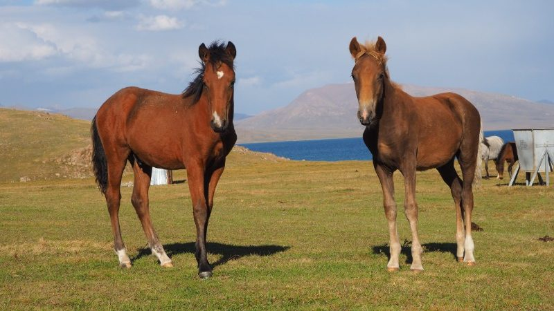 Two horses in Son Kul
