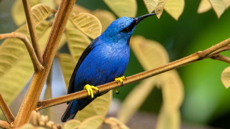 Honeycreeper, Costa Rica