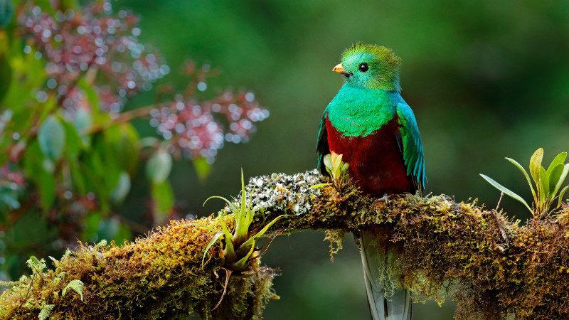Replendent Quetzal in Costa Rica