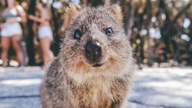 Smiling quokka on Rottnest Island