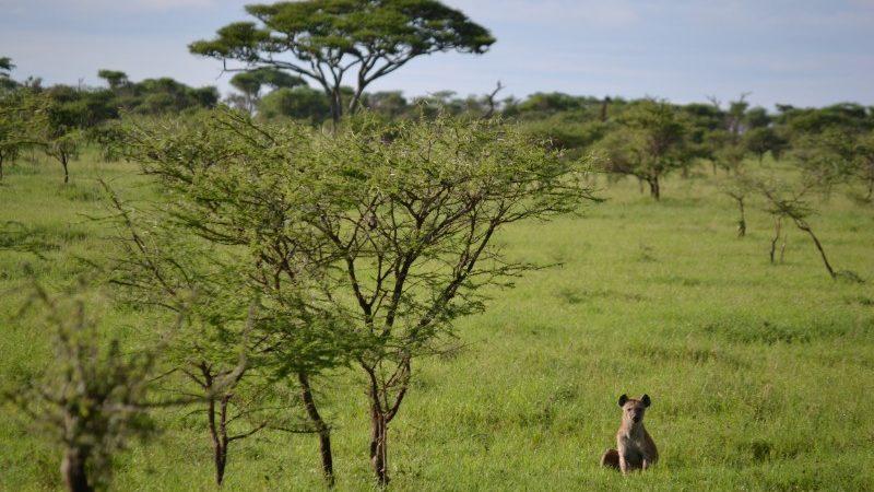 A lone hyena in the Serengeti