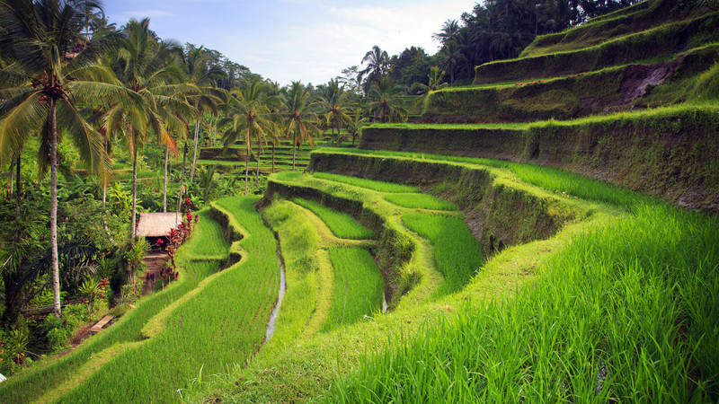 What to do in Ubud rice terrace Bali