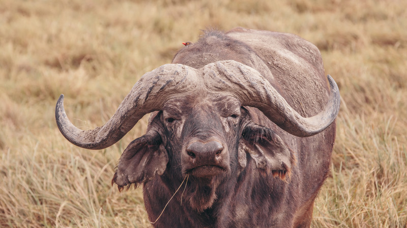 A buffalo in the Serengeti