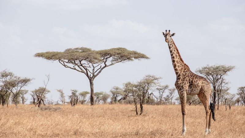 A giraffe in Tanzania