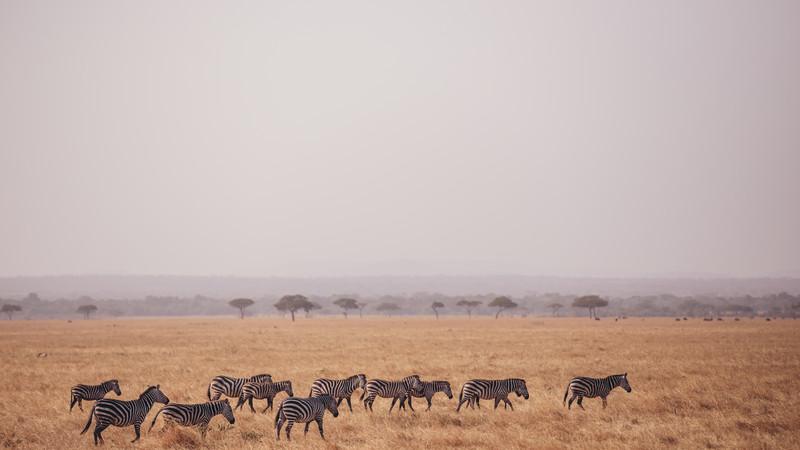 A herd of zebras in the Serengeti
