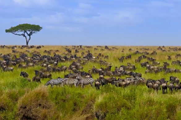 Great wildebeest, Masai Mara Game Reserve, Kenya