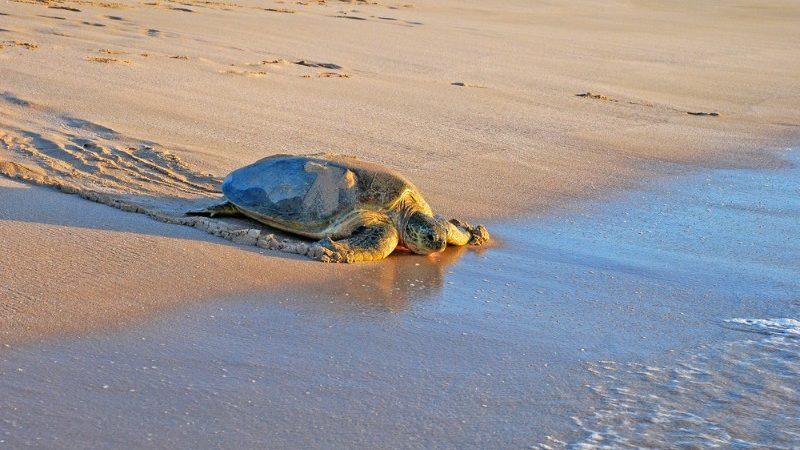 A sea turtle at Ras Al Jinz, Oman.