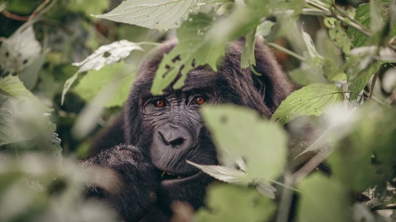 Gorilla in Uganda