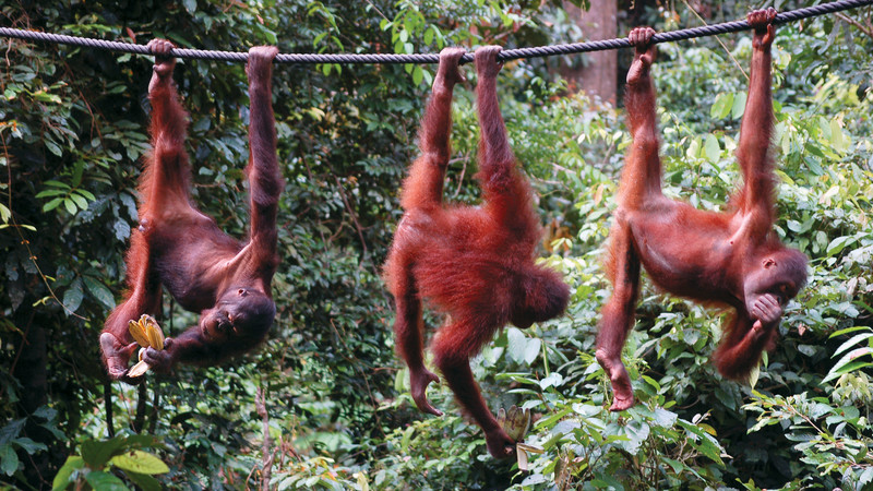 Three orangutans in Malaysia