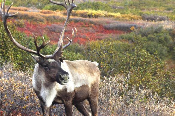 A caribou in Alaska