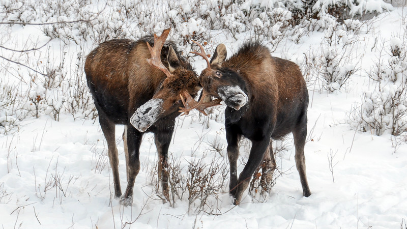 Two moose in the snow