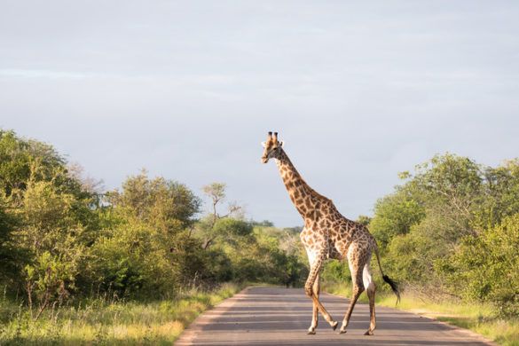 A giraffe crosses the road