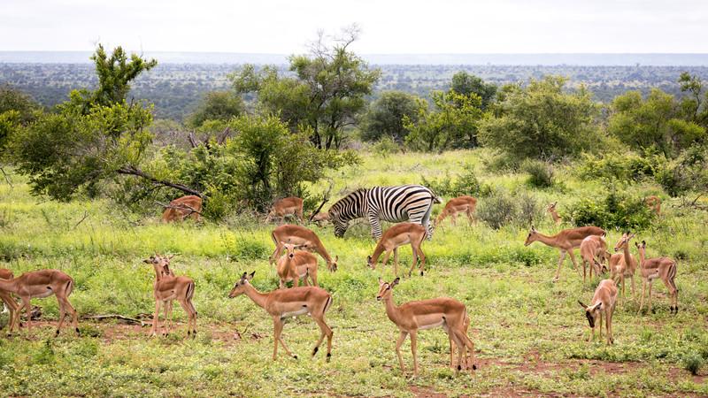 Zebras and impalas in Kruger National Park