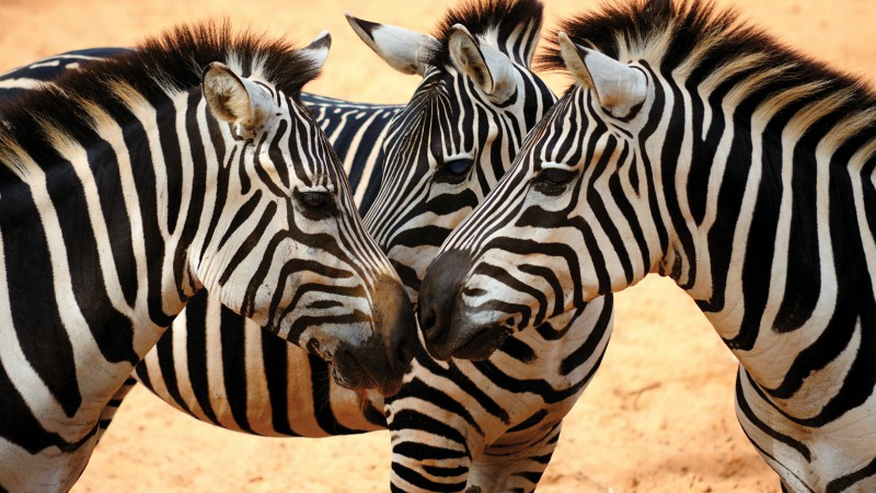 Zebras in the Serengeti, Tanzania