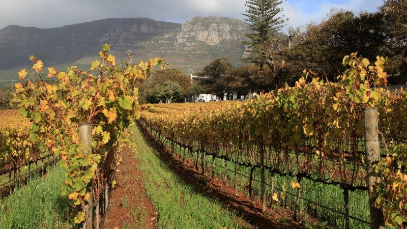 Vineyards in Constantia