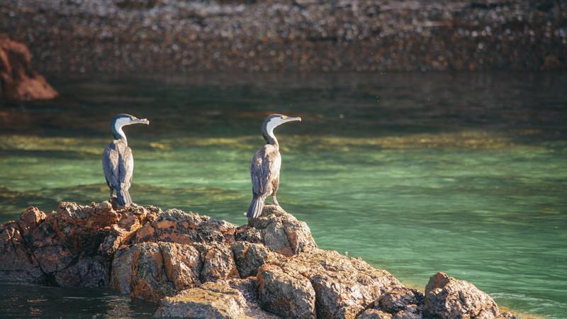 Two blue reef herons on rock