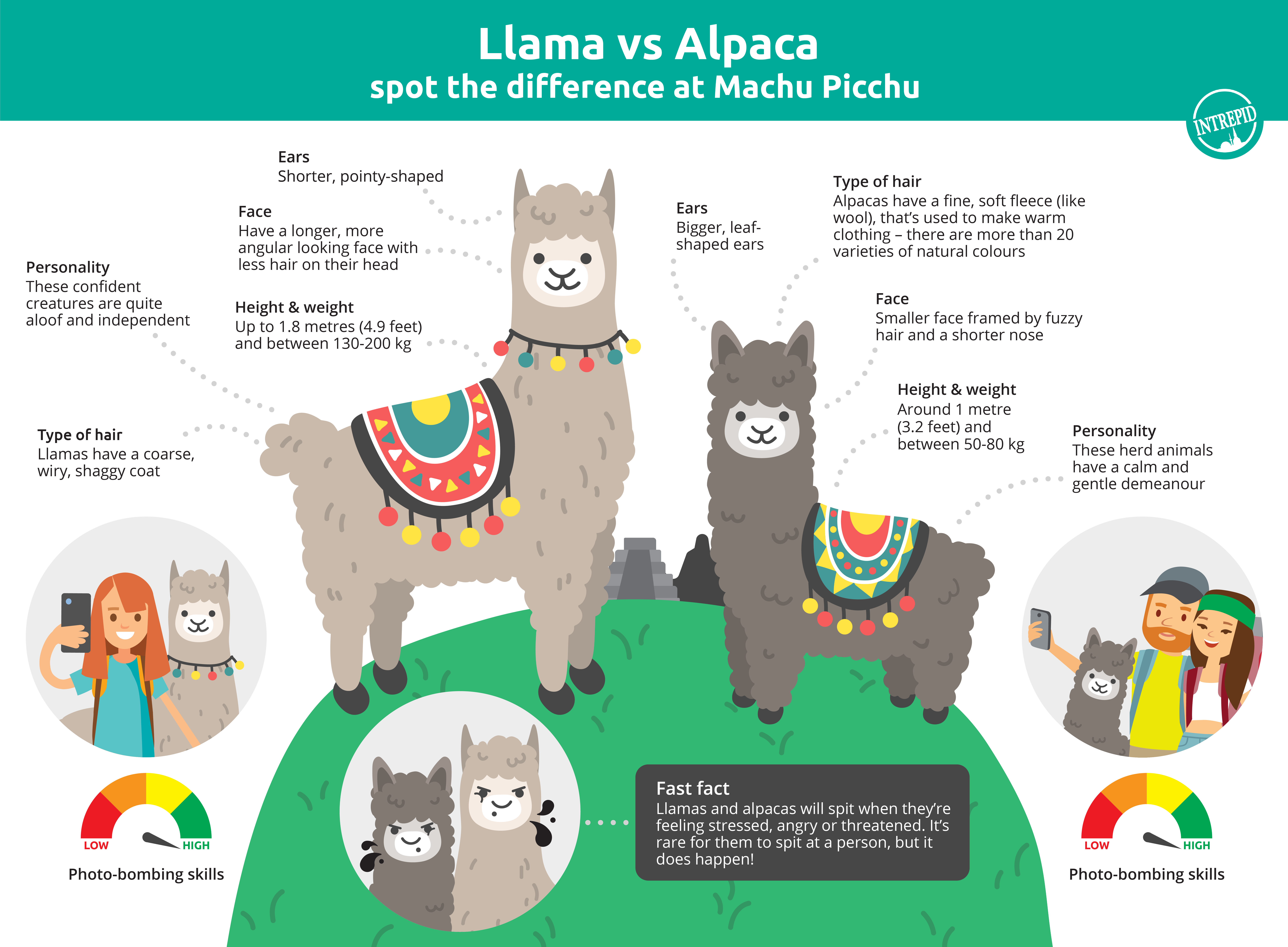 Image outlining the differences between llamas and alpacas