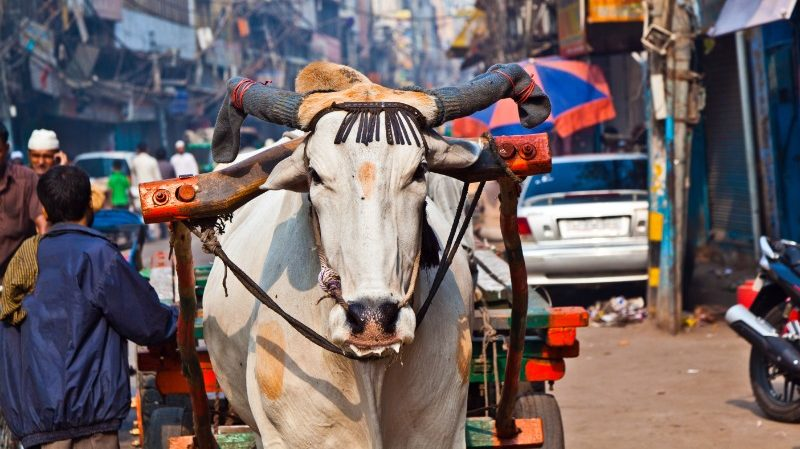 A sacred cow walks through Delhi, India
